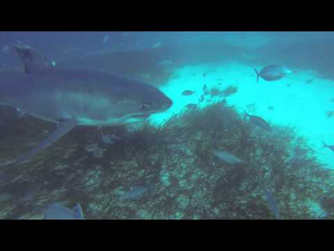 Great White Sharks, Neptune Islands, June 2014, Close Encounter at the End