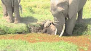 Mother Elephant- Tatabamba, Rescuing Her One Day Old Calf