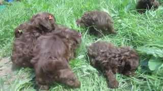 РУССКАЯ ЦВЕТНАЯ БОЛОНКА щенки шоколадного окраса