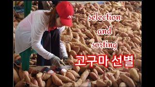 고구마 선별 sweet potatoes selectio…