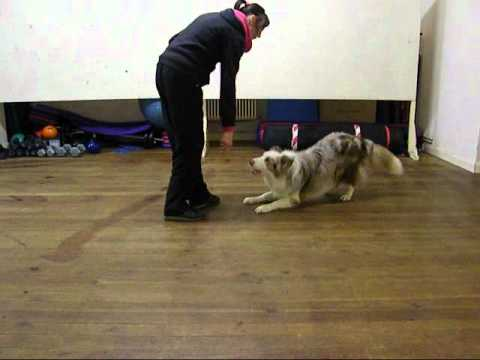 border collie..dog training..obedience...heelwork & tricks