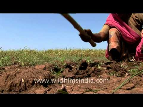 Women digging farmland with Hoes in Rajasthan