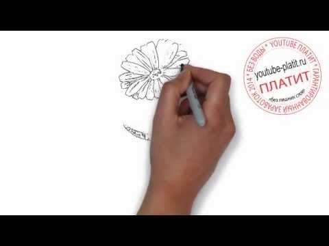 Как нарисовать календулу легко