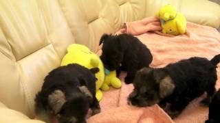 ミニチュア・シュナウザーの子犬です。 2011年4月23日生まれ。 牡2牝3の...