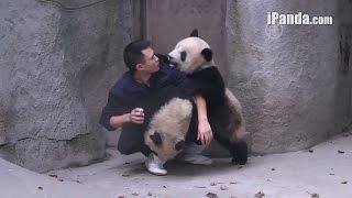 Приставучие панды не отпускают смотрителя (новости)