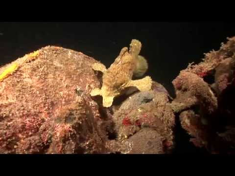 Crazy Animal Attack - Giant Frogfish eats poisonous Lionfish!