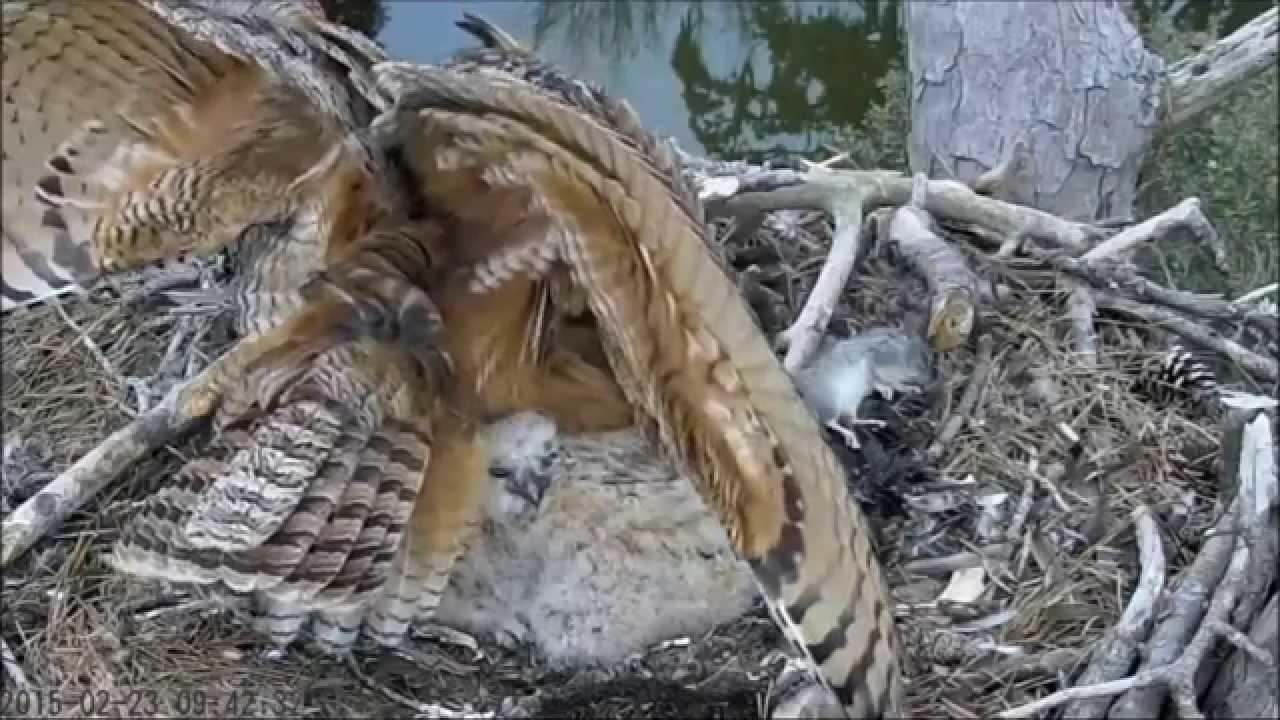 Savannah Great Horned Owl Cam  Defense Posture! 2 23 15