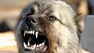 Встреча собаки и волка