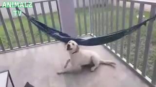 Funny Dog In the Hammock