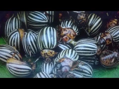 Вопрос: Можно ли отравиться картошкой которую даже колорадский жук не ест?