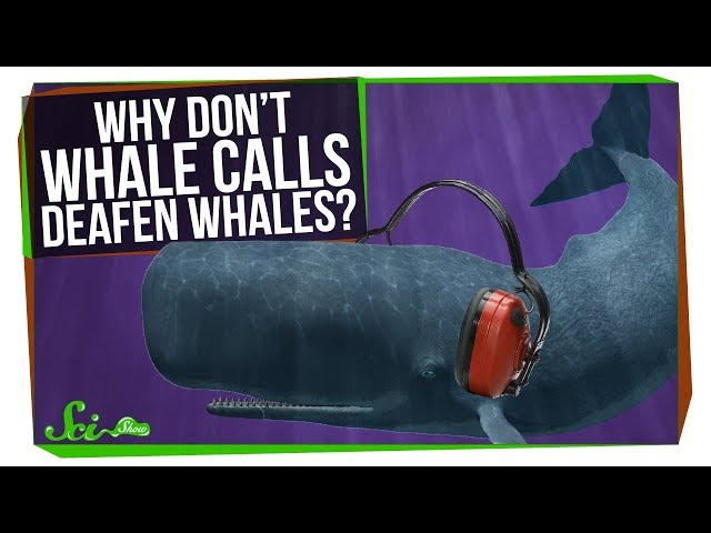 Why Don't Whales Deafen Themselves?