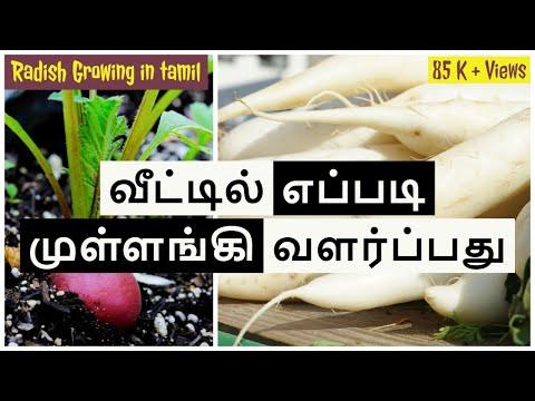 வீட்டில் எப்படி முள்ளங்கி  வளர்ப்பது   How to grow radish   tamil  