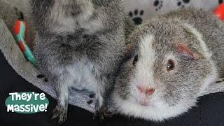 Rex Guinea Pigs' Update!