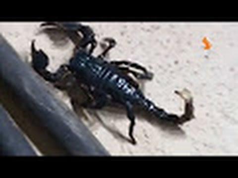 Картинки живой природы про скорпионов