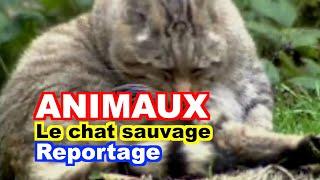 ETHOLOGIE : Le Chat sauvage (Felis silvestris)