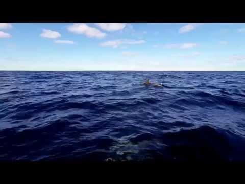Dolphin Pod 30 miles south of Pensacola Beach HD