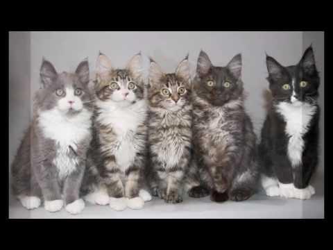most beautiful cats / kedi cinsleri - maine coon / cat breeds - maine coon