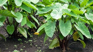 Plantas de hojas grandes: oreja de elefante - Bricomanía
