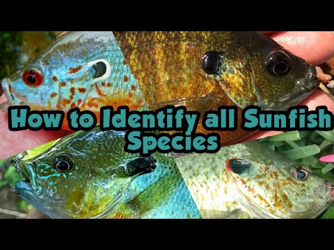 How To Identify All Sunfish Species In The United States