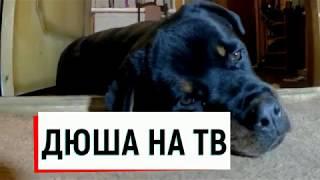 РОТВЕЙЛЕР ДЮША СОБИРАЕТСЯ НА ТВ.воспитание и дрессировка собаки