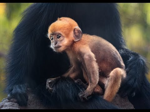 Langur Monkey - ZooBorns