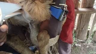 synchronization and AI program in Bonga sheep