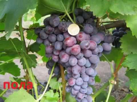 Сорта винограда- фото