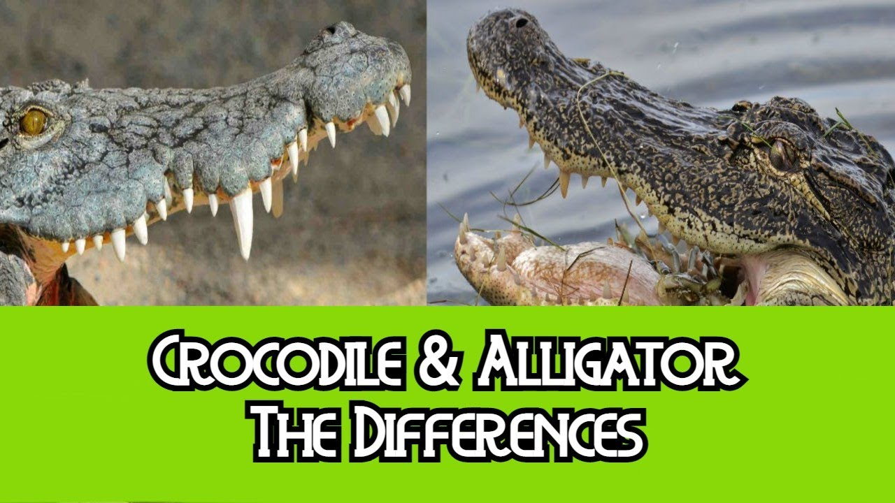 a comparison of alligators and crocodiles Fatality rate: alligator attacks = 43% shark attacks = 15% 1 alabama department of conservation and natural resources 2 florida fish and wildlife conservation.