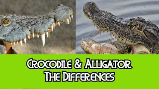 Alligator & Crocodile - The Differences
