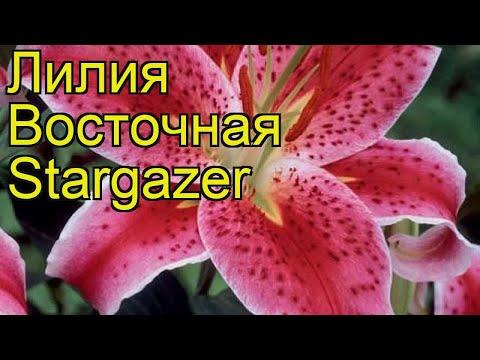 Лилия восточная Старгейзер. Краткий обзор, описание характеристик, где купить луковицы Stargazer