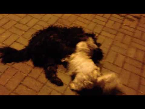 West Highland White Terrier And Old English Sheepdog Playing (Part 2)