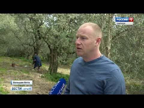 В Никитском ботаническом саду собирают оливки