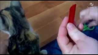 Как капать кошке капли от блох   смотреть видео