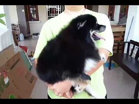 Pomeranian Dog For Adoption - 1 Year, O-Nee from Tasek Gel..