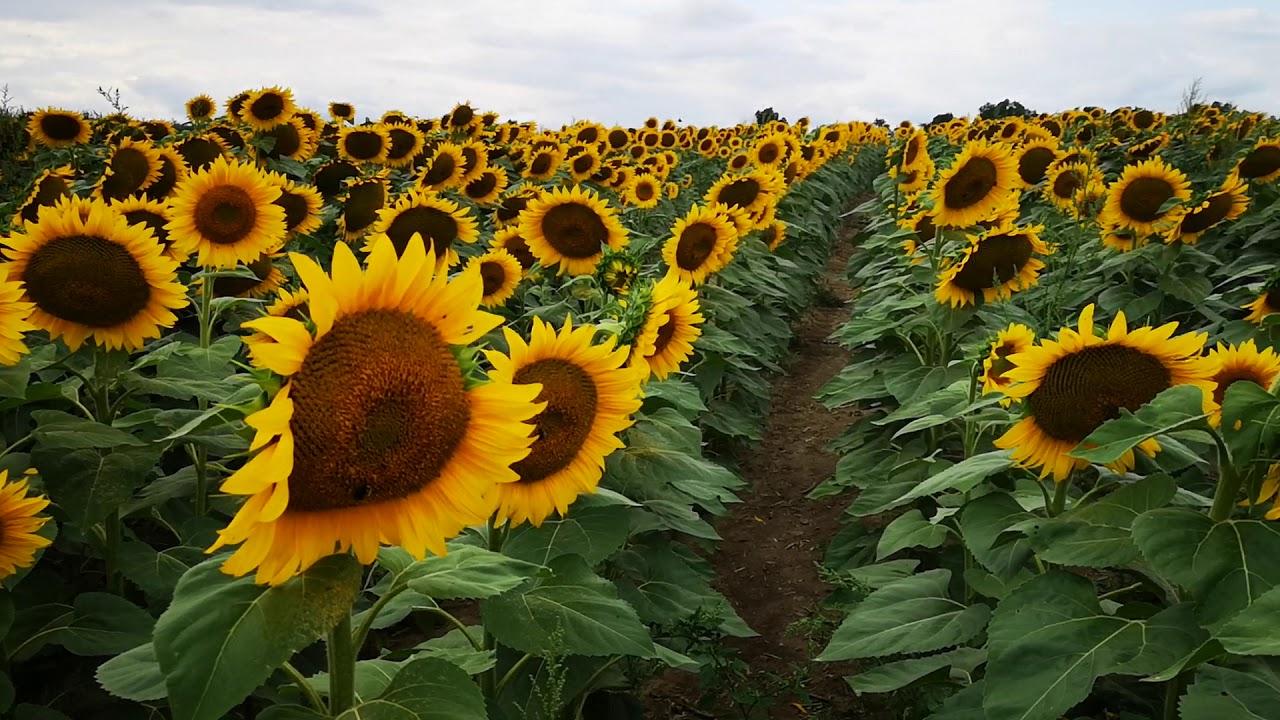 Sunflower Farm🌻🌻🌻 - YouTube