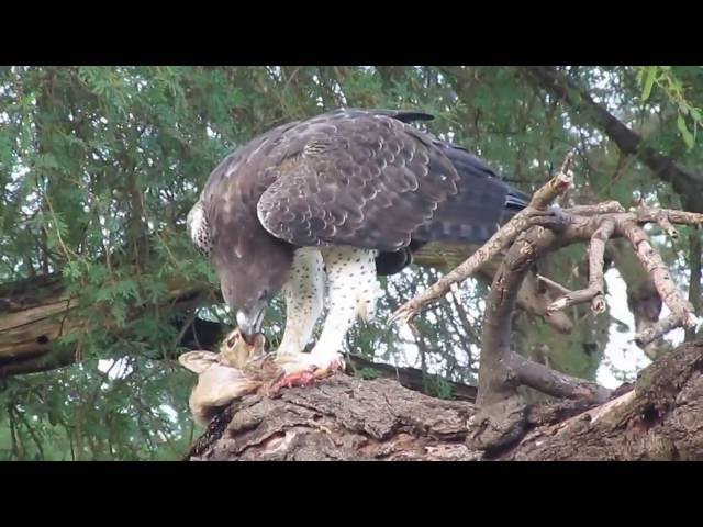 Martial Eagle eats a dik-dik that was just caught