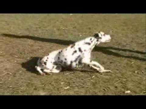 trick dog dalmatian dalmatiner youtube. Black Bedroom Furniture Sets. Home Design Ideas