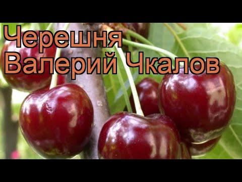 Вопрос: Лучшие сорта черешни – Ипуть, Ревна, Валерий Чкалов – какой выбрать?