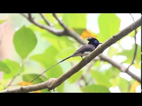 Japanese paradise flycatcher, 紫綬帶, サンコウチョウ