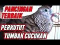 Suara Perkutut Lokal Paling Jago Mancing Lawan Bunyi Katuranggan Tumbak Cucukan  Mp3 - Mp4 Download