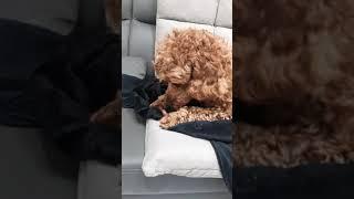 [찰리는코카푸] 강아지 우유껌 먹방