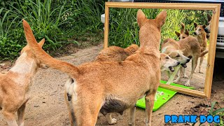 Mirror Prank For Dog Hilarious Reaction   Mirror Prank Part 3