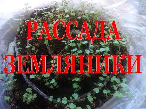Выращивание ЗЕМЛЯНИКИ (КЛУБНИКИ) из семян  ПИКИРОВКА рассадЫ