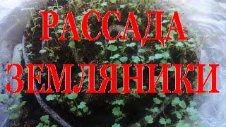 Выращивание ЗЕМЛЯНИКИ (КЛУБНИКИ) из семян  ПИКИРОВКА рассадЫ(Выращивание ЗЕМЛЯНИКИ (КЛУБНИКИ) из семян ПИКИРОВКА рассадЫ ****************** ○ ПОДПИСАТЬСЯ, чтобы не пропустить..., 2016-03-26T07:41:40.000Z)