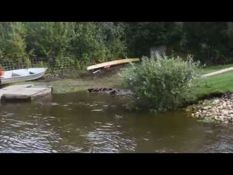 Sled dogs swimming