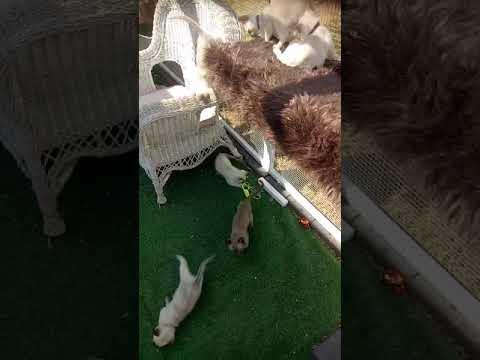 Tonkinese X Ragdoll Kittens
