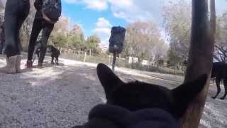 French Bulldog At The Dog Park: Gopro Fetch Harness