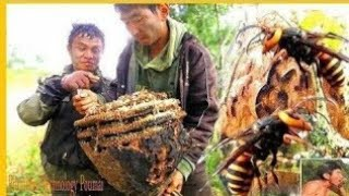Massive Asian GIANT (Hornets) Wasp Nest Removal | HORNETS NEST REMOVAL