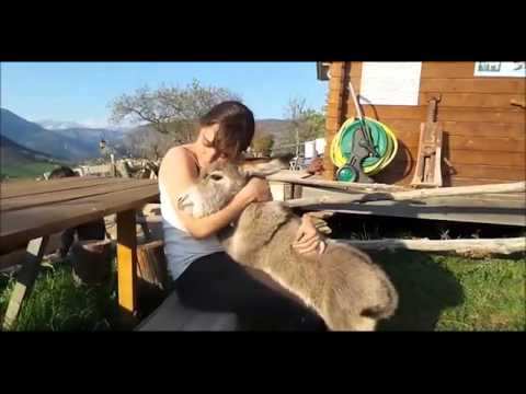 Cute baby Donkey just wants to cuddle and kiss the Girl.