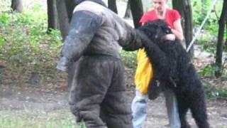 Русский черный терьер.Тренировка.Блокпост 2